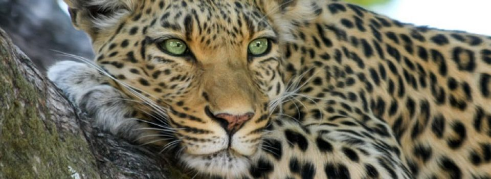 Can a Leopard Change Her Spots?